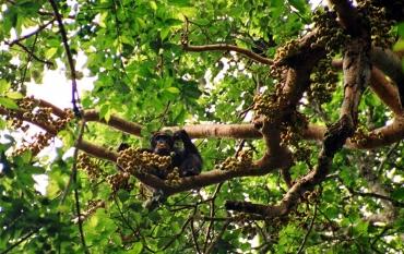 chimpanzee eating in tree
