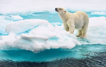 Polar bear standing on an ice flow