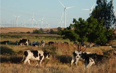 cattle with wind farms in the background