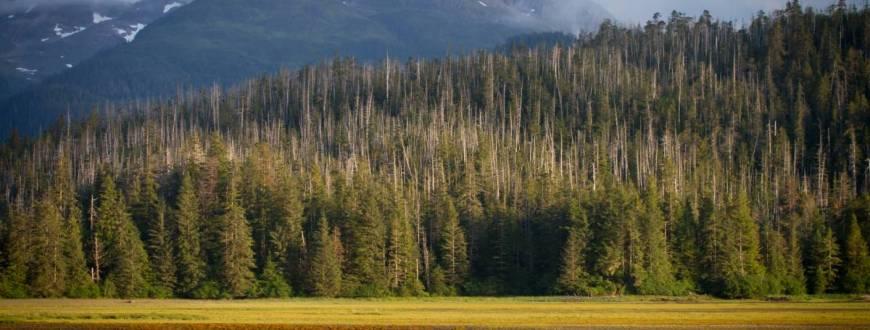 Yellow Cedar in Alaska