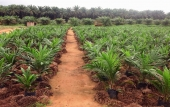 rows of oil palm plants