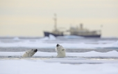 Polar bears in view of shipping in the Arctic