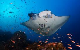 Manta ray swimming through a school of fish