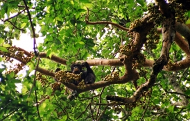 chimpanzee eating in tree