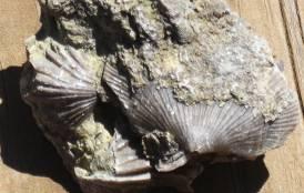 Brachiopod fossil