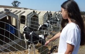 Student reaches out to cow on organic dairy farm.
